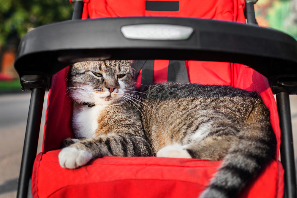 Cat in kids stroller on a trip in park. Interesting game outdoor in sunny day