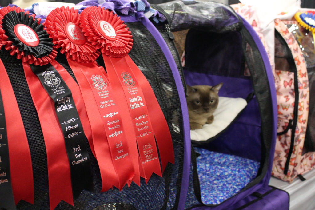 Whisker Fabulous Saintly City Cat Show Winner