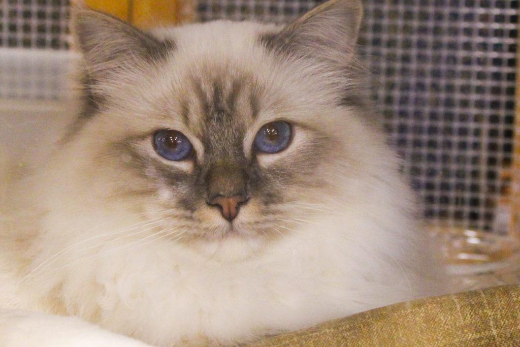 Whisker Fabulous Saintly City Cat Show Winner